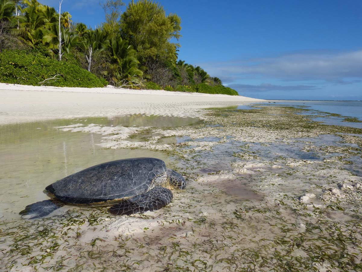 alphonse island turtles