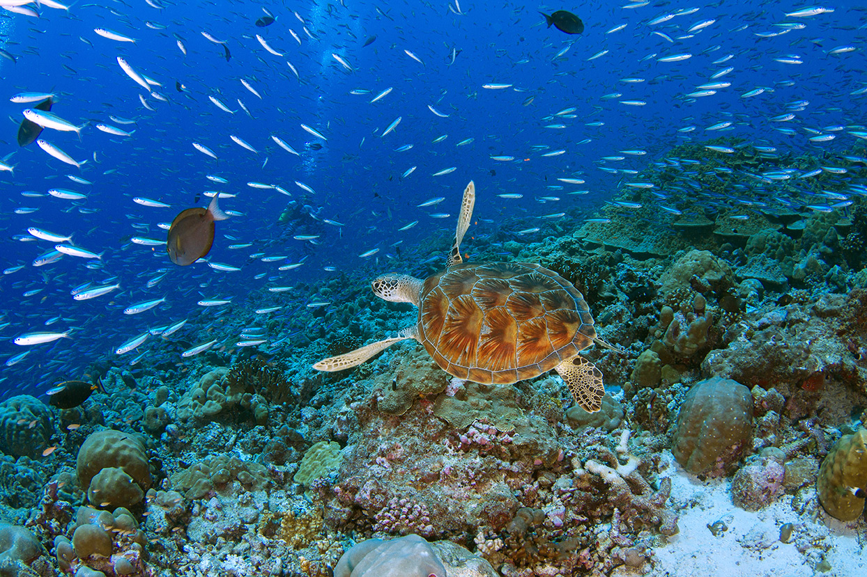 Alphonse green turtle