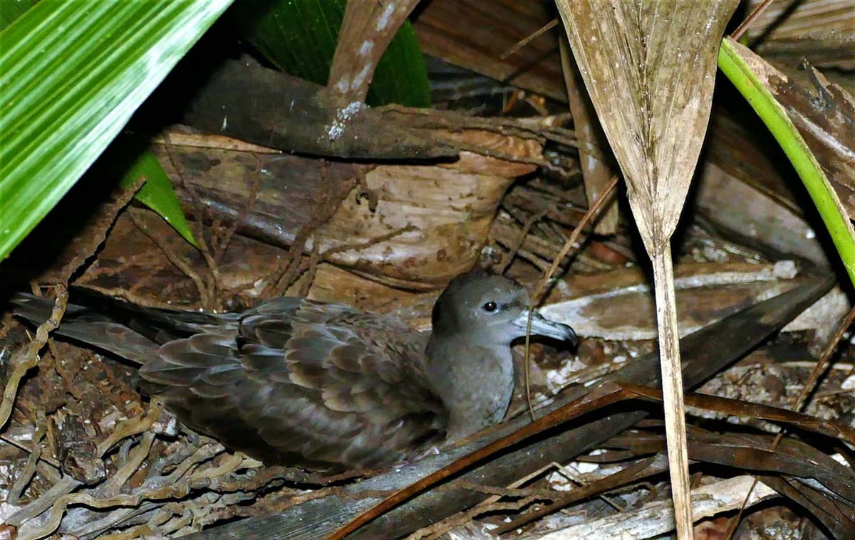 Wedge tailed Shearwater pair Alphonse Seychelles