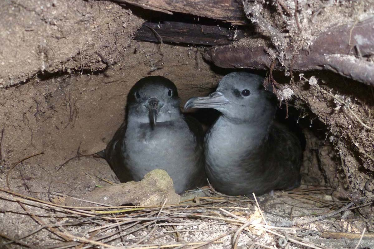 Wedge tailed Shearwater pair Alphonse Island