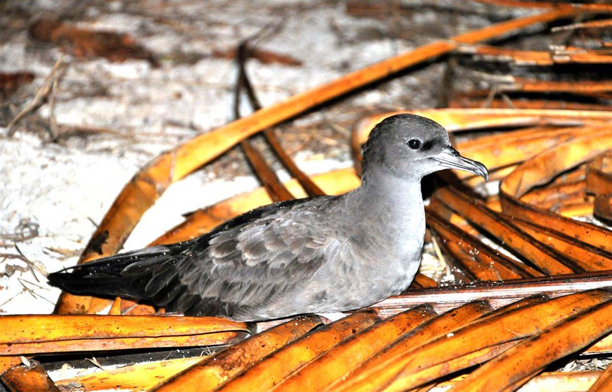 Wedge tailed Shearwater pair Alphonse Island Seychelles