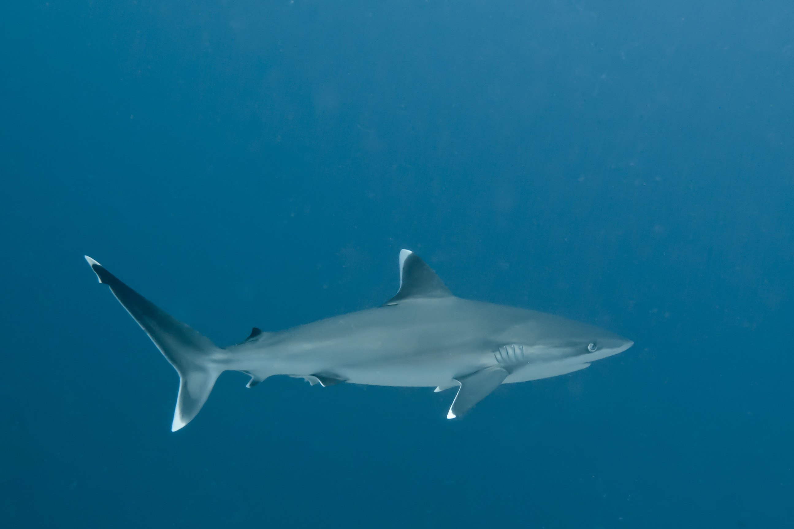 Seychelles Scuba Dive - Top Sharks to See